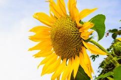 Żółty słonecznik, słonecznikowy natury piękno Fotografia Stock