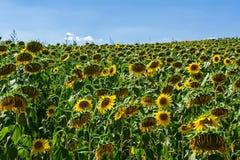Żółty słonecznik w dużym więdnącym polu zdjęcia royalty free