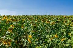 Żółty słonecznik w dużym więdnącym polu zdjęcia stock