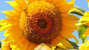 Żółty słonecznika zakończenie zbiory