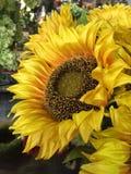 Żółty słonecznikowego bright Obraz Royalty Free