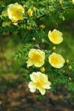 Żółty siberian wzrastał Fotografia Stock