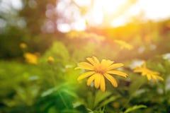 Żółty stokrotki okwitnięcie w ogródzie w wczesnym wschodzie słońca Fotografia Royalty Free