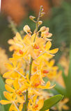 Żółty Storczykowy świeżego kwiatu tło Fotografia Stock