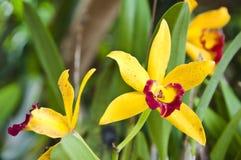 Żółty Storczykowy kwiat Zdjęcia Stock