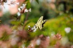 Żółty Swallowtail motyl fotografia stock