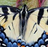 Żółty Swallowtail motyl Zdjęcia Royalty Free