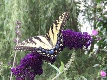 Żółty swallowtail motyl na purpura kwiacie Obrazy Royalty Free