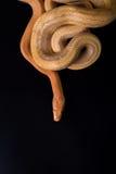 Żółty szczura wąż na czarnym tle Fotografia Stock