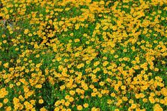 Żółty trawa kwiat Fotografia Royalty Free