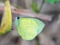 Żółty trawa motyl Obrazy Stock