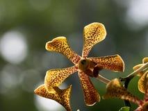 Żółty Trichoglottis orchidei zakończenie up Obraz Royalty Free