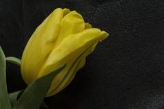 Żółty tulipan na czarnym tle Obraz Royalty Free