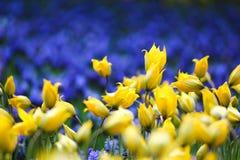 Żółty tulipan wśród błękitnego szałwia kwiatu Obraz Stock