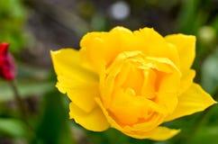 Żółty tulipan w ogródzie Obrazy Royalty Free