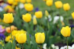 Żółty tulipanowy kwiat Fotografia Royalty Free