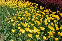 Żółty tulipanowy kwiatu morze Zdjęcie Stock