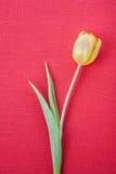 Żółty tulipanowy tło Zdjęcie Royalty Free