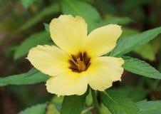 Żółty turnera subulata kwiat Fotografia Royalty Free