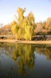 Żółty wierzbowy drzewo odzwierciedlający w wodzie Zdjęcia Royalty Free