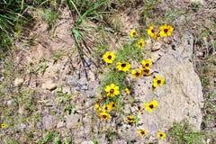 Żółty Wildflower Zdjęcia Stock