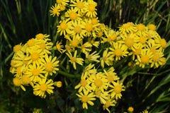 Żółty wildflowers rosnąć Zdjęcie Royalty Free