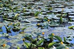 Żółta wodna leluja Fotografia Royalty Free