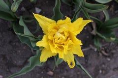 Żółty zwolennik w wiośnie Zdjęcie Royalty Free