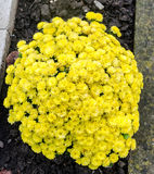 Żółtych chryzantema kwiatów zamknięty up, tekstura Fotografia Royalty Free