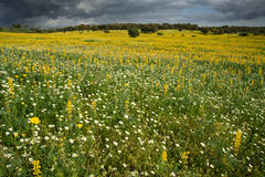Żółtych i białych kwiatów pole Obrazy Stock