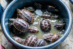 Żółw obraz stock
