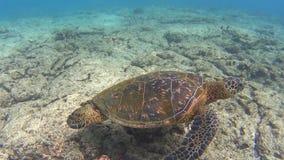 Żółw zbiory wideo