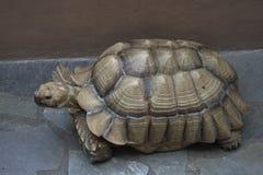 Żółw Zdjęcie Royalty Free