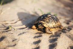 Żółw iść wolno w piasku z swój ochronną skorupą Zdjęcie Stock