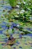 Żółw na beli Obraz Stock