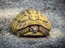 Żółw na drodze Fotografia Royalty Free