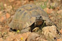 Żółw na skalistej i piaskowatej pustyni Gad chlapnąć Obraz Stock