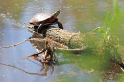 Żółw Na stawie Obraz Royalty Free