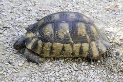 Żółw na ziemi Obrazy Royalty Free
