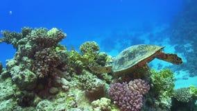 Żółw Pływa nad rafą koralowa zdjęcie wideo