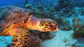Żółw Pływa nad rafą koralowa zbiory wideo