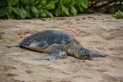 Żółw plaża blisko Haleiwa - Północny brzeg Oahu, Hawaje Zdjęcia Royalty Free