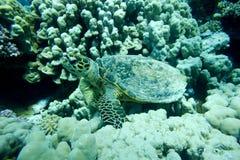 Żółw podwodny Fotografia Stock