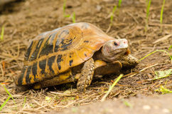 Żółw przyroda Obraz Royalty Free