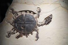 Żółw skamielina - szczegóły zdjęcie stock