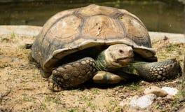 Żółw, Sulcata tortoise, Tajlandia zoo Zdjęcia Stock