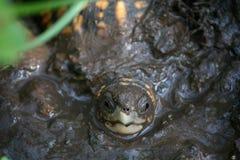 Żółw w błocie Fotografia Royalty Free