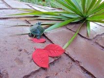 Żółw w czerwieni Zdjęcie Royalty Free