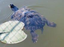 Żółw w jeziorze Zdjęcia Royalty Free
