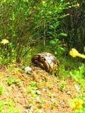 Żółw w lesie Obrazy Royalty Free